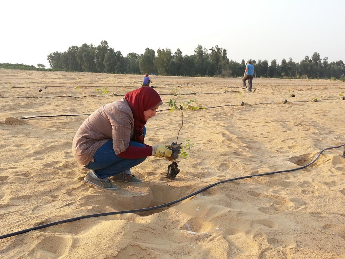 Aufforstung der Wüste mit Oliven- und Dattelbäumen